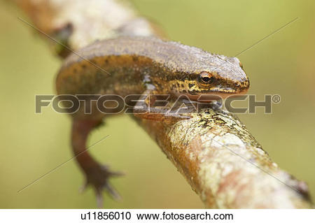 Stock Photography of Palmate Newt (Triturus helvetica) while.