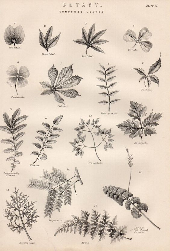 1886 print ~ botany ~ compound leaves ternate frond pinnate.