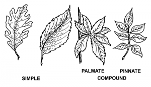 Similiar Bipinnate Pattern Keywords.