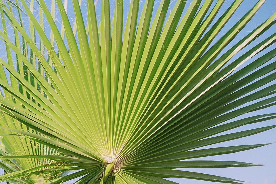 Fan, Palm.