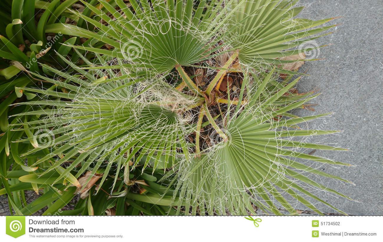 Washingtonia Filifera, Desert Fan Palm Stock Photo.