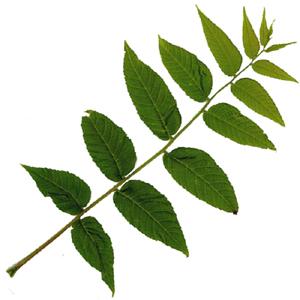 Leaf Shapes.