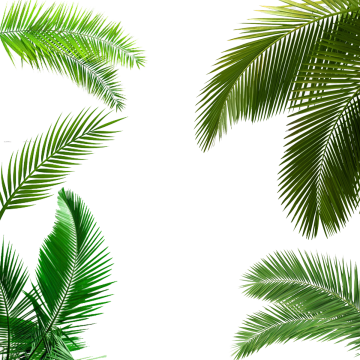 Palmeras png clipart images gallery for free download.