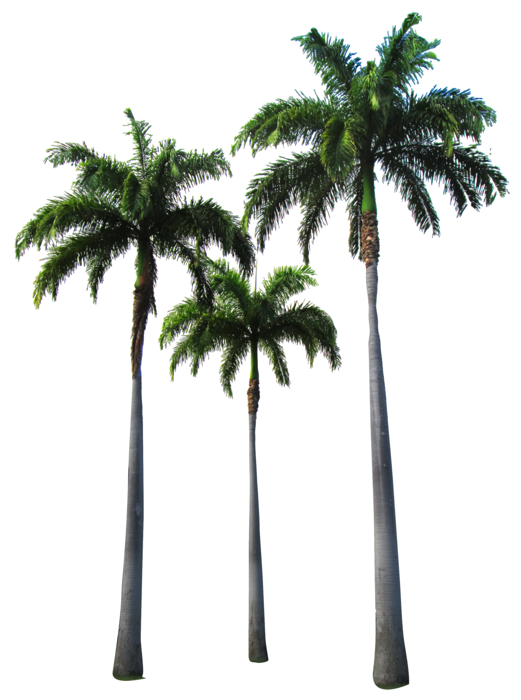 Palm Tree PNG Transparent Palm Tree.PNG Images..