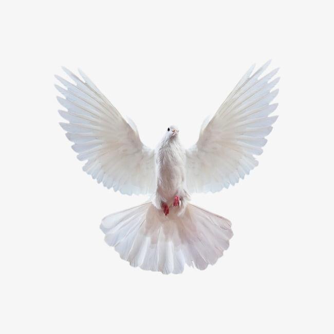 Paloma voladora creativa, paloma blanca. PNG Clipart.