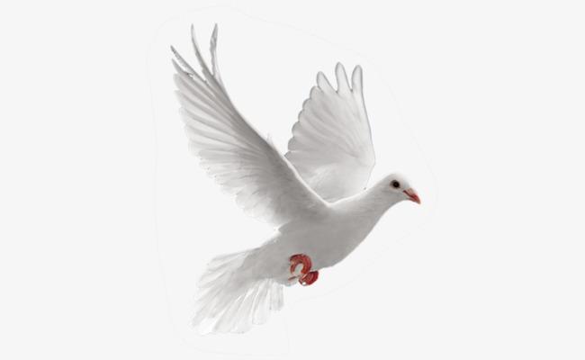 Paloma blanca de la paz PNG Clipart.