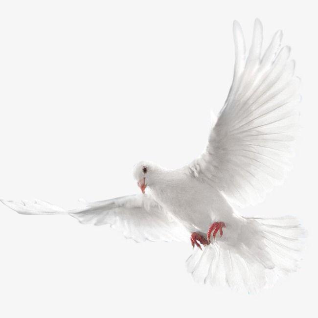 Una Paloma Blanca Volando, Blanco, Palomo, Volar Archivo PNG.