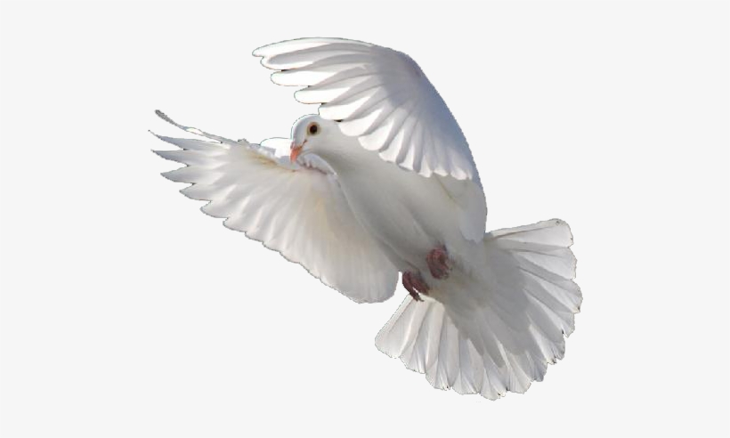 Flying Dove Png.