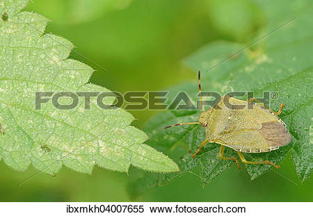 "Stock Image of ""Green shield bug (Palomena prasina), Hesse."