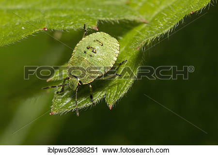 "Stock Photography of ""Common green shieldbug (Palomena prasina."