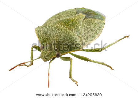 Green Palomena Bug Shield Stock Photos, Images, & Pictures.