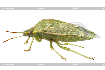 Green Shield Bug Species Palomena Prasina In High Definition With.