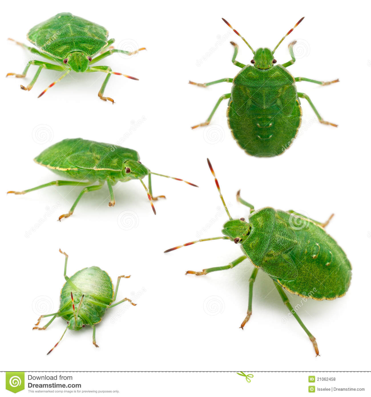 Green Shield Bugs, Palomena Prasina, In Front Of Royalty Free.