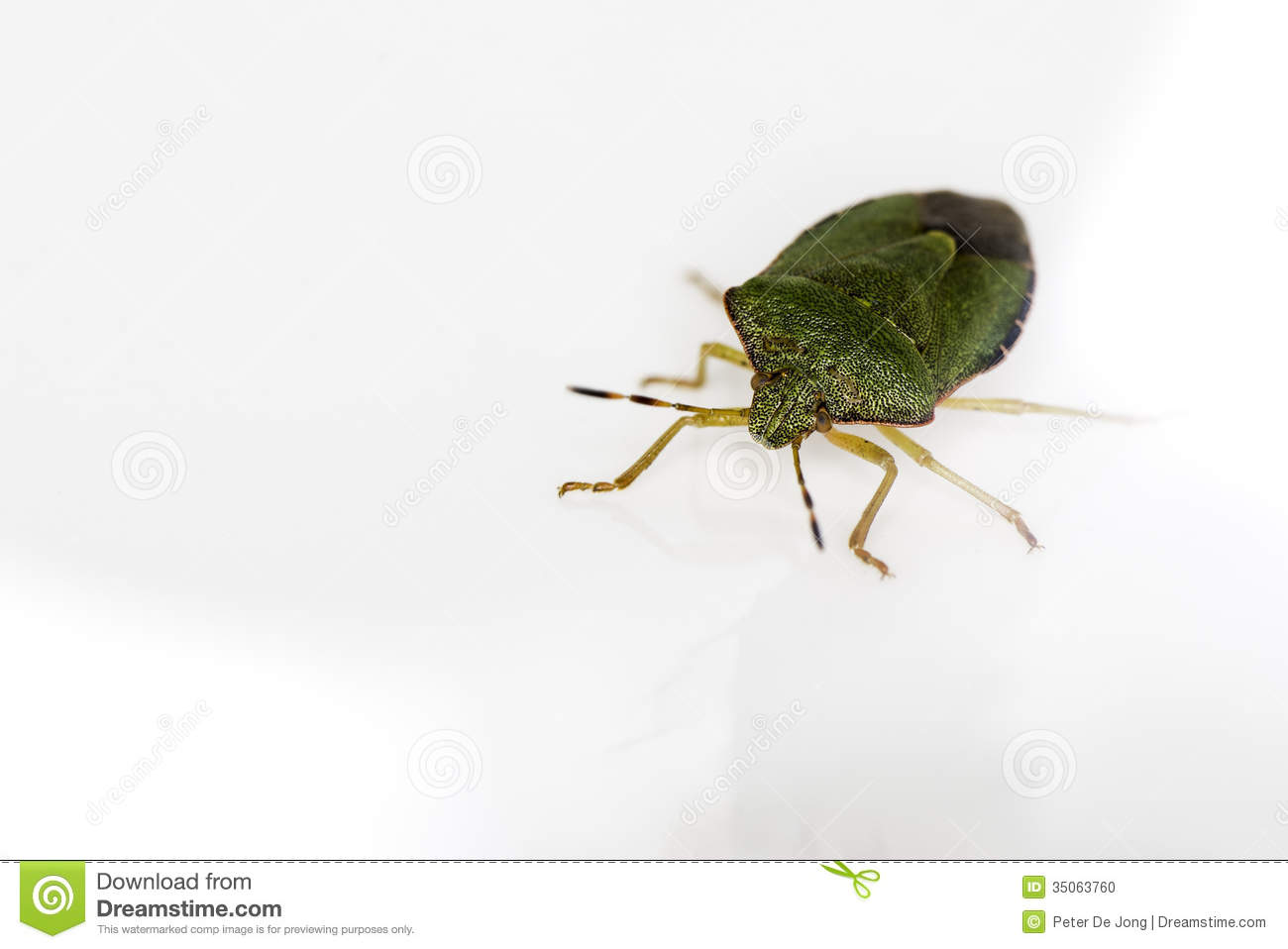 A Green Beetle (Palomena Prasina) On White. Stock Photo.