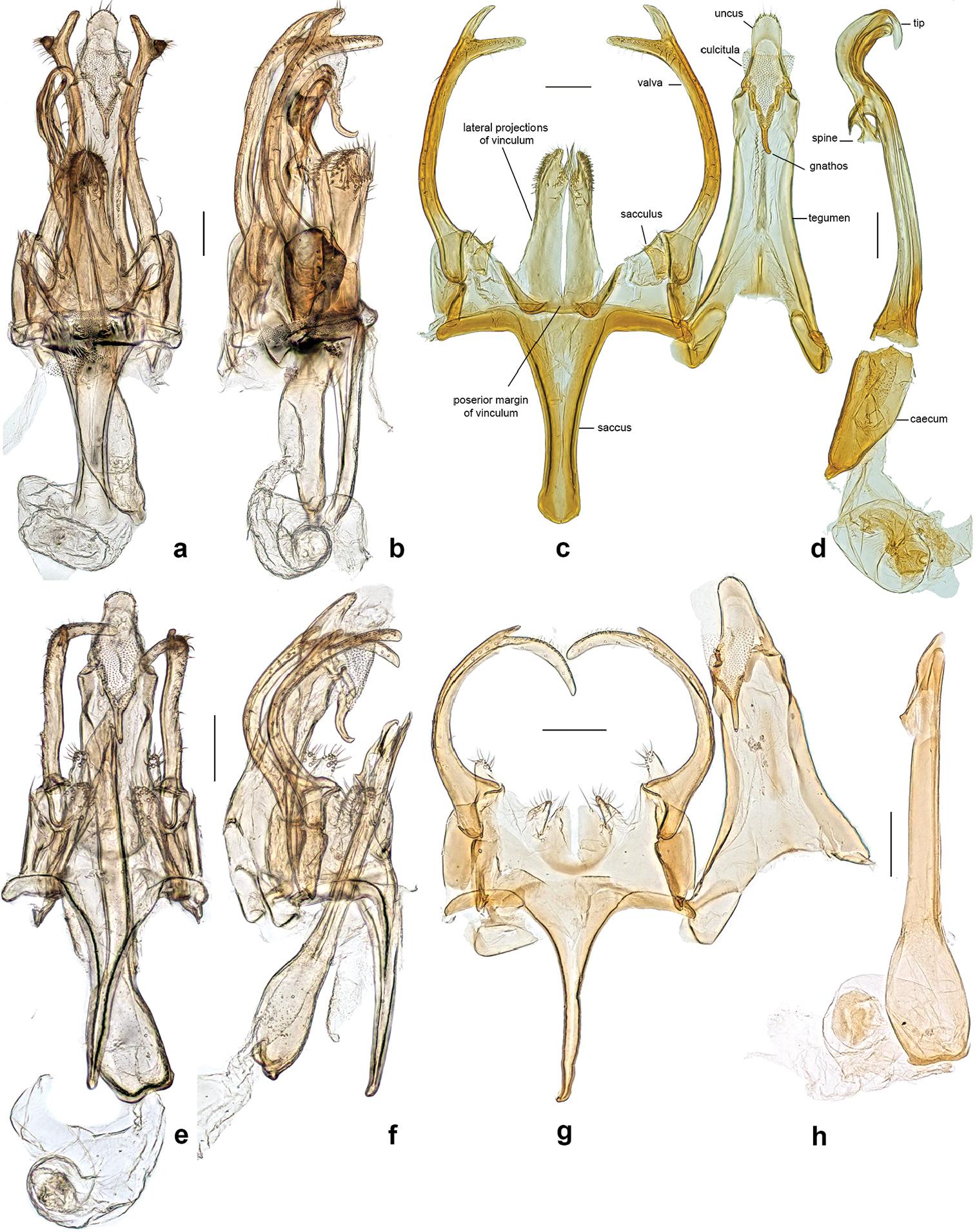 File:Neopalpa male genitalia.jpg.