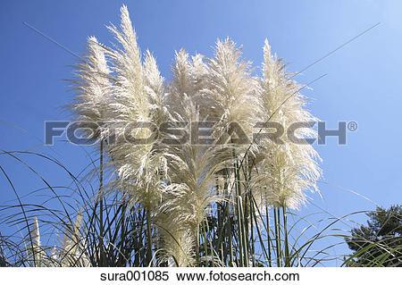 Stock Image of Pampas grass sura001085.