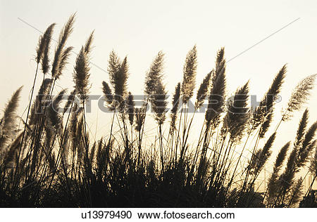 Stock Photography of Pampas Glass u13979490.