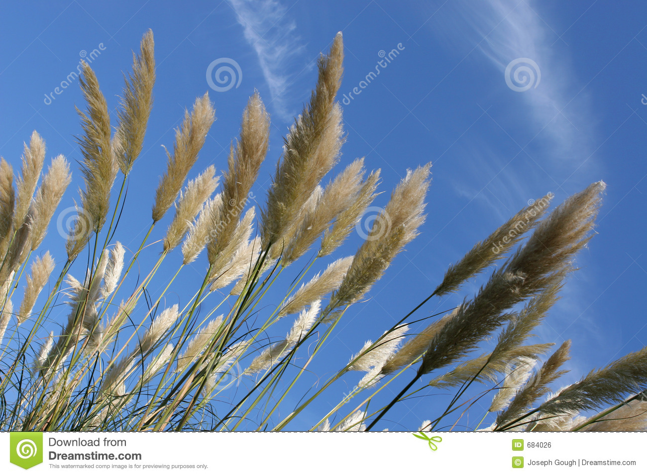 Tall Pampas Grass And Blue Sky Royalty Free Stock Image.