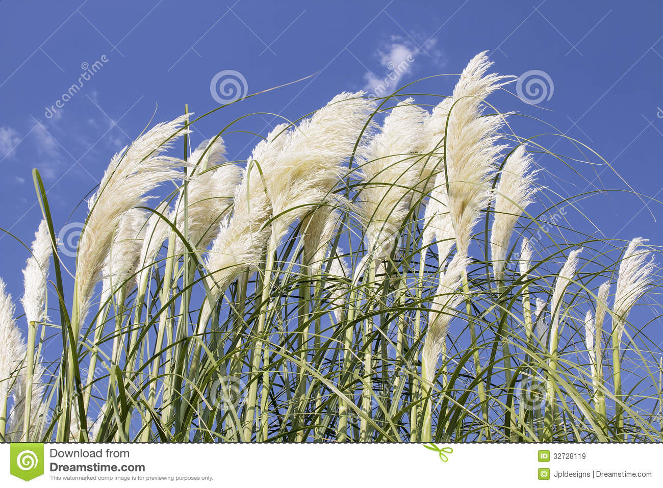 White Pampas Grass With Flower Royalty Free Stock Images.