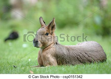Stock Photo of Pampas hare lying in thbe grass csp0151342.