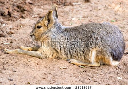 Pampas Hare Hare Arkivbilder, avgiftsfrie bilder og vektorer.