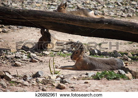 Stock Photography of Mara Pampas Hare k26882961.