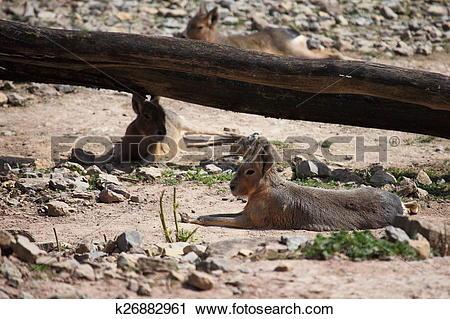 Stock Photography of Mara Pampas Hare k26882961.