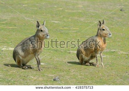 """patagonian Mara"""" Stock Photos, Royalty."""