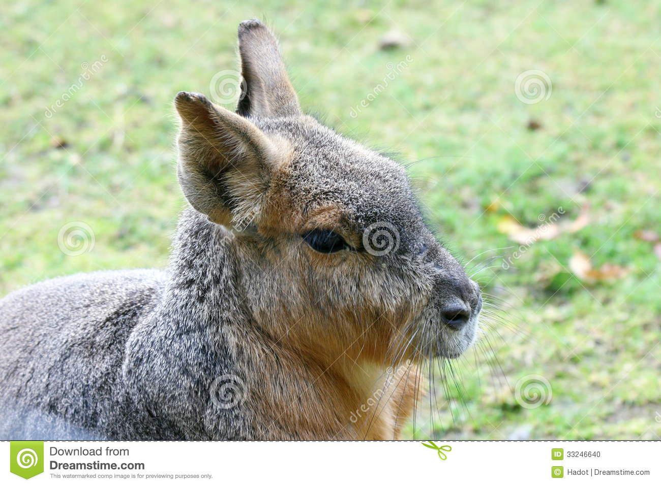 Great Mara (Dolichotis Patagonum) Stock Photo.