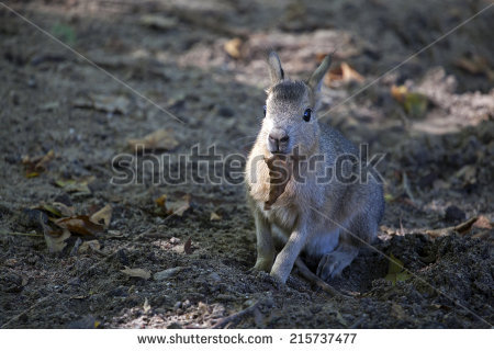 Pampas Hare Hare Stock Photos, Royalty.