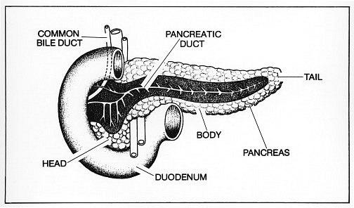 Pancreas Clipart.