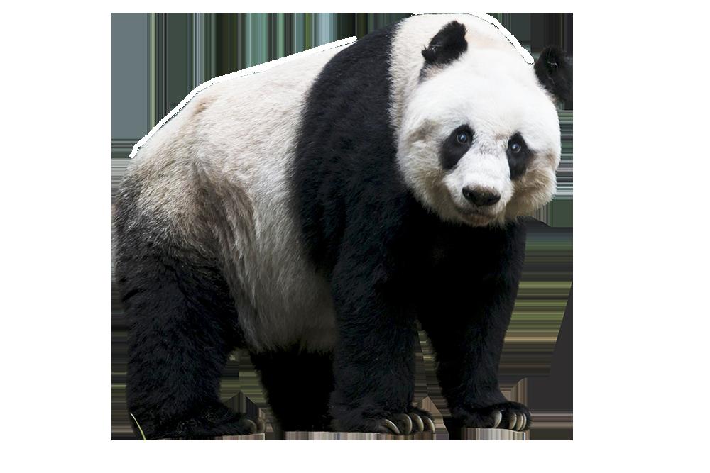 Panda PNG images.