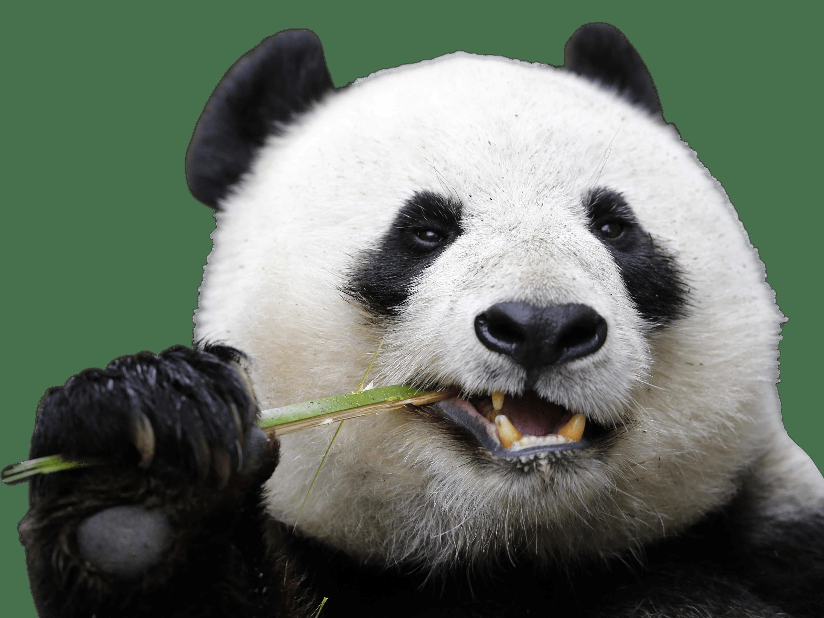 Eating Panda transparent PNG.