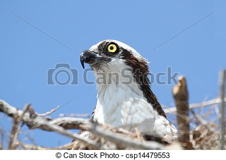 Stock Images of Osprey (pandion haliaetus) on a nest with a blue.