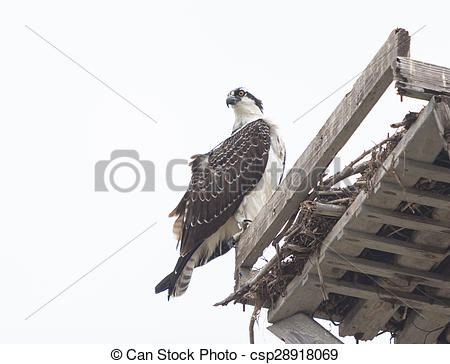 Stock Image of Male osprey bird, Pandion haliaetus, perched on its.