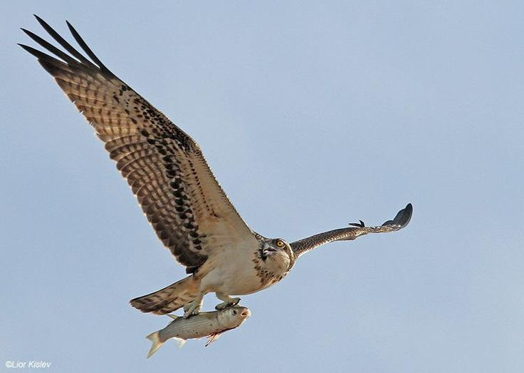 Osprey (Pandion haliaetus).