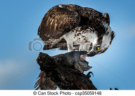 Stock Photo of Osprey with Fish Pandion haliaetus also called fish.