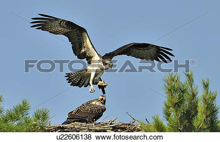 Pictures of Osprey, Pandion haliaetus, coming to feed fledging.