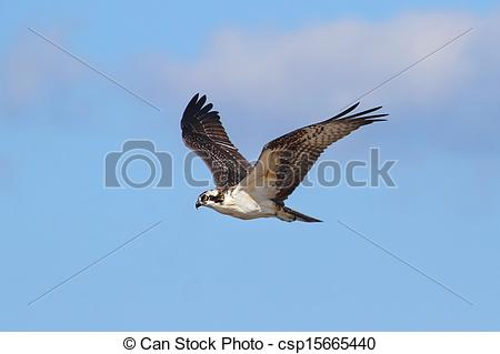 Stock Photo of Osprey (pandion haliaetus) in flight with a blue.