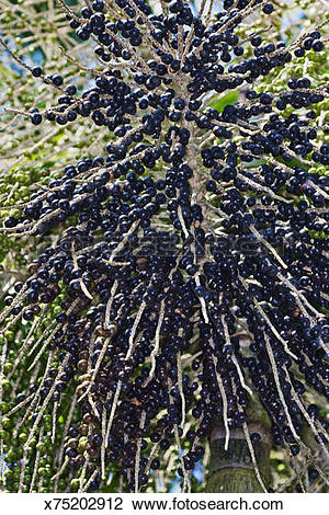 Stock Photo of Acai berries on panicle x75202912.