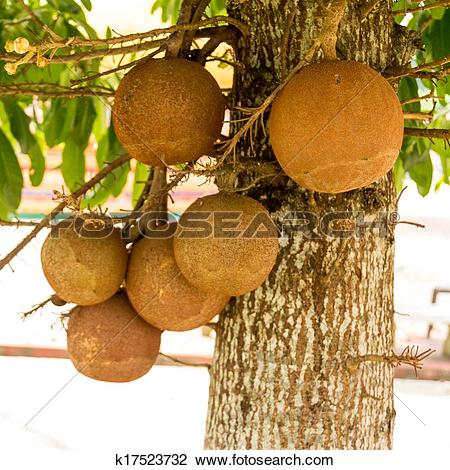 Stock Photo of fruit panicle of Cannonball tree k17523732.