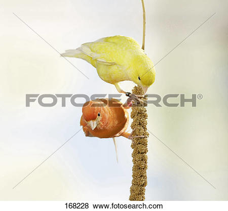 Pictures of A red and a yellow bird feeding on a Foxtail Millet.
