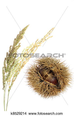 Stock Photo of Chestnuts, rice and millet panicle k8529214.