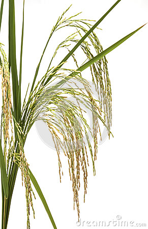 Rice Field Rice Panicle Stock Photos, Images, & Pictures.