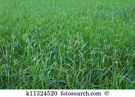 Panicles Stock Photo Images. 238 panicles royalty free images and.