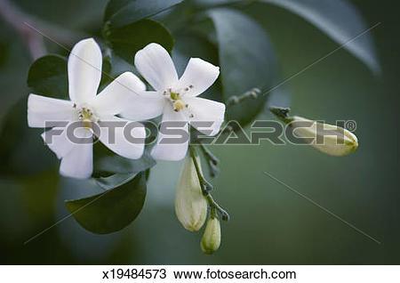 Stock Photo of Murraya Paniculata. Orange Jasmine x19484573.