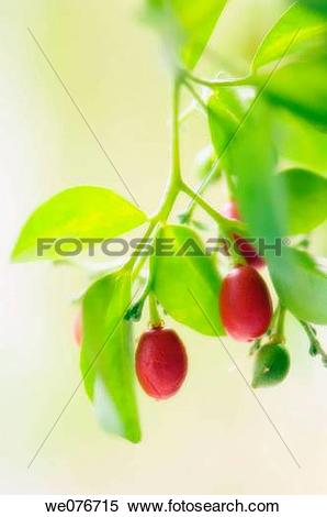 Stock Image of Orange Jasmine Fruits. Murraya paniculata. November.