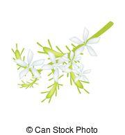 Murraya paniculata Vector Clipart EPS Images. 13 Murraya.