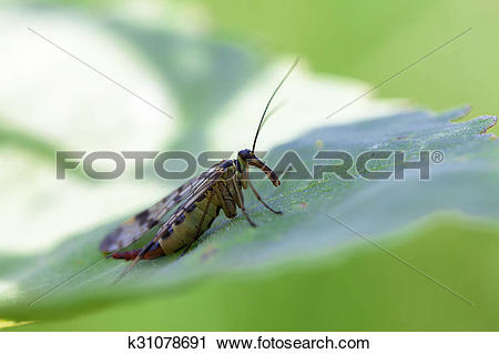 Stock Photography of Scorpion Fly.