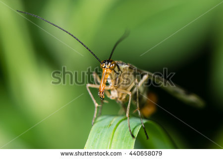 Scorpionfly Stock Photos, Royalty.